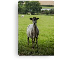Ewe`s looking Canvas Print