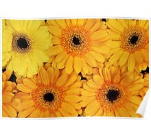 Blooming Gerbera Flowers and Petals - Yellow Poster
