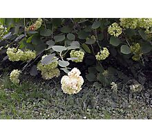 White flowers part of natural bush in the garden. Photographic Print
