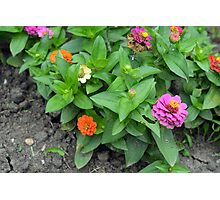 Colorful pink and orange flowers in green leaves bush in the garden. Photographic Print