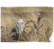 Hiding in the Grass -- Snowy Owl Poster
