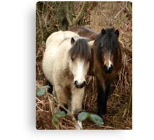 National Trust Ponies Canvas Print