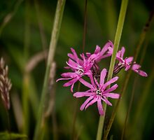 Ragged Robin by Colin Metcalf