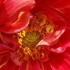 red petals by feiermar