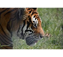 Big Cat - Tiger Photographic Print