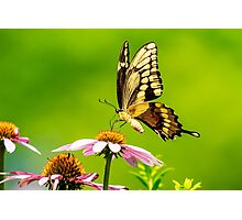 Black Swallowtail Butterfly Photographic Print
