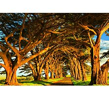 Cypress Tunnel Sunset Glow Photographic Print