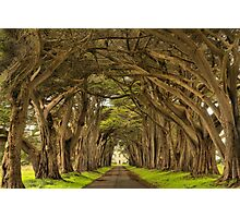 Afternoon At The Cypress Tunnel Photographic Print