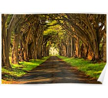 Cypress Tunnel Afternoon Glow Poster