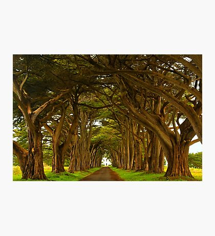 Marin County Cypres Tunnel Photographic Print