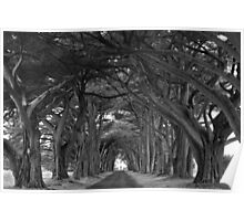 Point Reyes Black And White Cypress Tunnel Poster