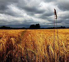 Nodding heads of barley by BonniePortraits