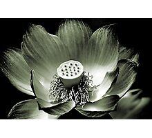 Platinum Lotus Photographic Print