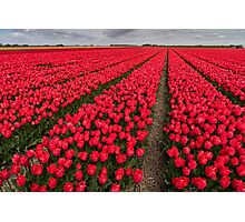 Tulip fields in springtime Photographic Print