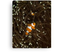 Clownfish on a White-Tipped Anemone Canvas Print