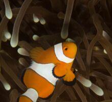 Clownfish on a White-Tipped Anemone Sticker