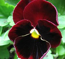 Please, I'm just a little pansy... Picture and Poem by BlueMoonRose