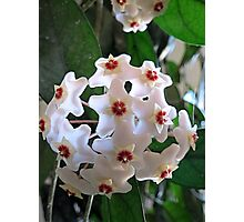 Hoya Plant In Bloom Photographic Print