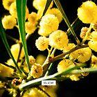 Golden wattle. by Kell Rowe