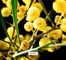Golden wattle. by Kell Rowe