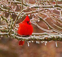 Cardinal by Mary Carol Story