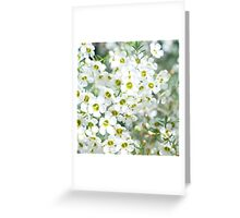 White Geraldton Wax wildflowers Greeting Card