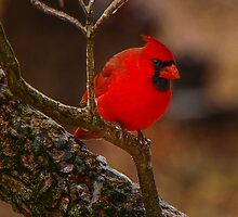 Portrait of a Redbird by Mary Carol Story