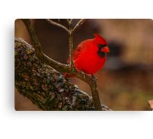 Portrait of a Redbird Canvas Print