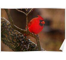 Portrait of a Redbird Poster