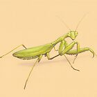 Praying Mantis by LFurtwaengler