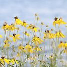 Brown Eyed Susans In The Breeze by mercale
