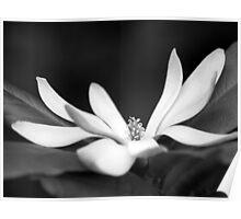 Star Magnolia Poster