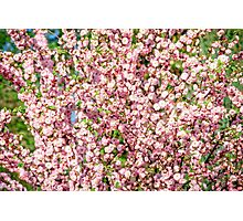 Flowering Plum Photographic Print