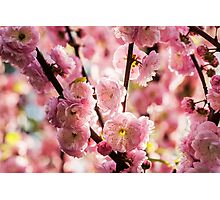 Flowering Plum - Pink Paradize Photographic Print
