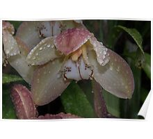 Rain on new Orchid Flower Leith Park Victoria 20160605 7086  Poster