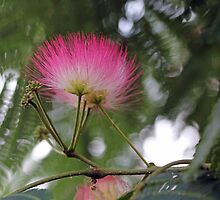 Persian Silk Tree by Astrid Ewing Photography