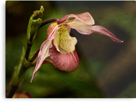 Pink lady's slipper orchid by Celeste Mookherjee