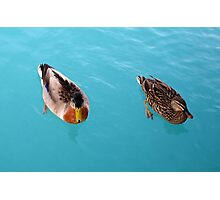 Mr and Mrs Mallard Photographic Print
