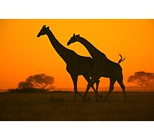 Giraffe Golden Run - African Wildlife Background Photographic Print