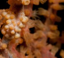 Pygmy Seahorse, North Sulawesi, Indonesia Sticker