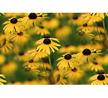 Field of Susans Photographic Print