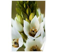 Beauty of the Tuberose Poster