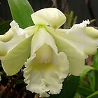 Orchid Flowering in our garden  by MardiGCalero