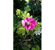 Pink Rose with a Bee Photographic Print
