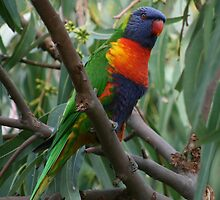 Rainbow lorikeet in a gum tree by Michael Matthews