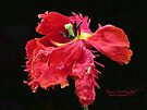 Parrot tulip on black by © Kira Bodensted