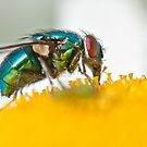 Bluebottle (Fly) by Stephen Knowles