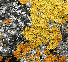 Golden Lichen, Binalong Bay, Tasmania, Australia. by kaysharp