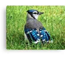 Blue Jay in the Grass Canvas Print