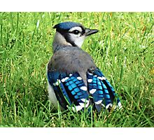Blue Jay in the Grass Photographic Print